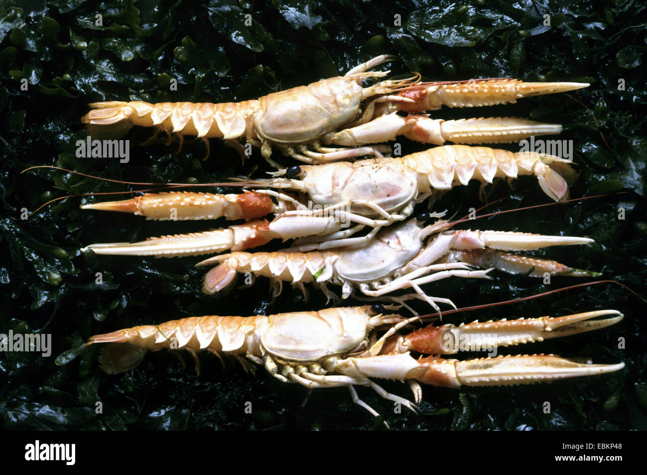 Norway lobster, Norway clawed lobster, Dublin Bay lobster, Dublin Bay prawn (scampi, langoustine) (Nephrops norvegicus), - Stock Image