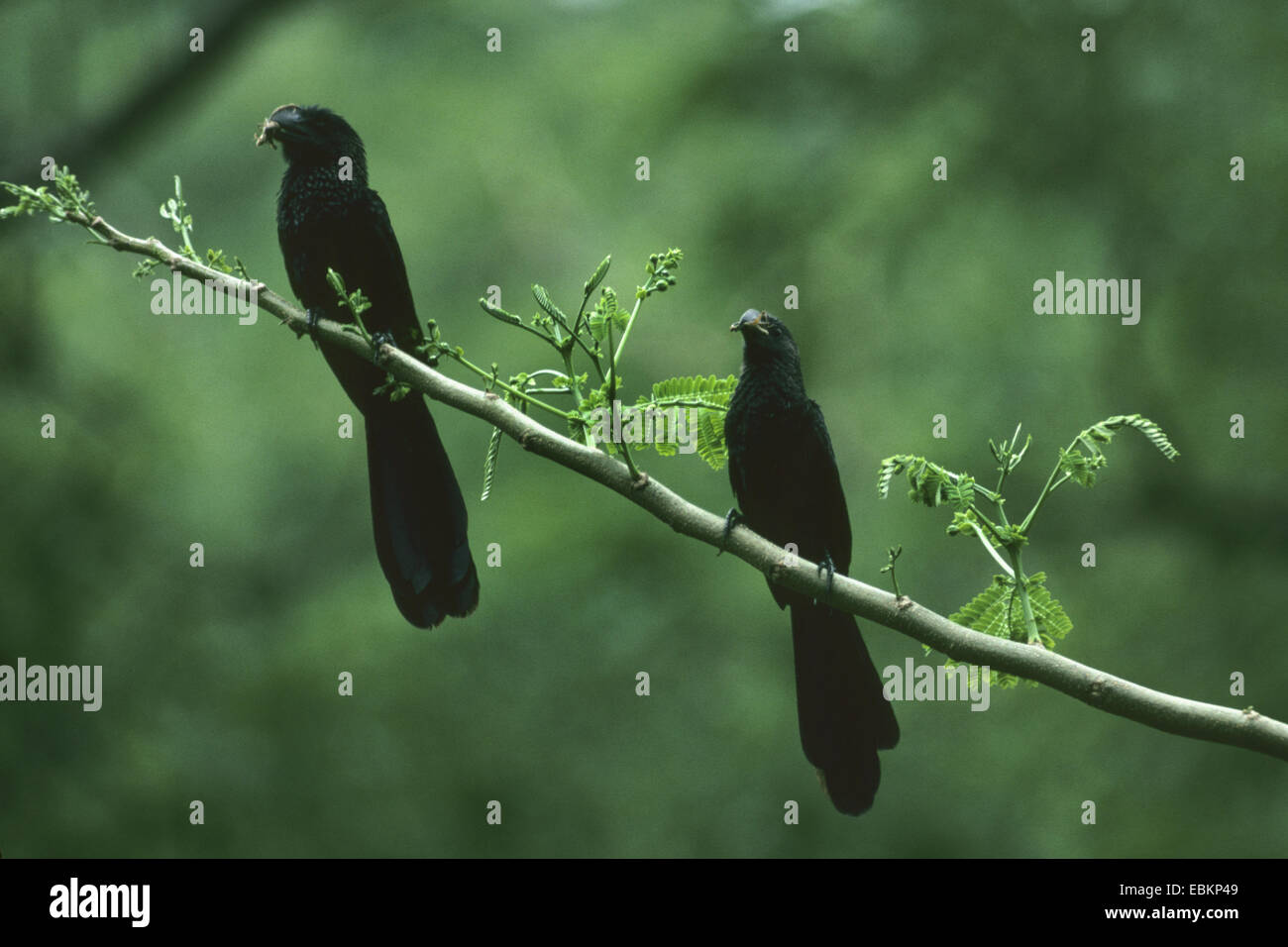 smooth-billed ani (Crotophaga ani), two smooth-billed anis on a branch - Stock Image