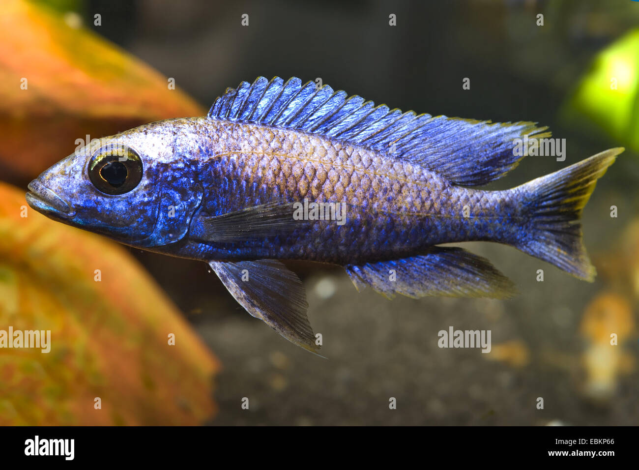 cichlid (Otopharynx lithobates), breed snowfield - Stock Image