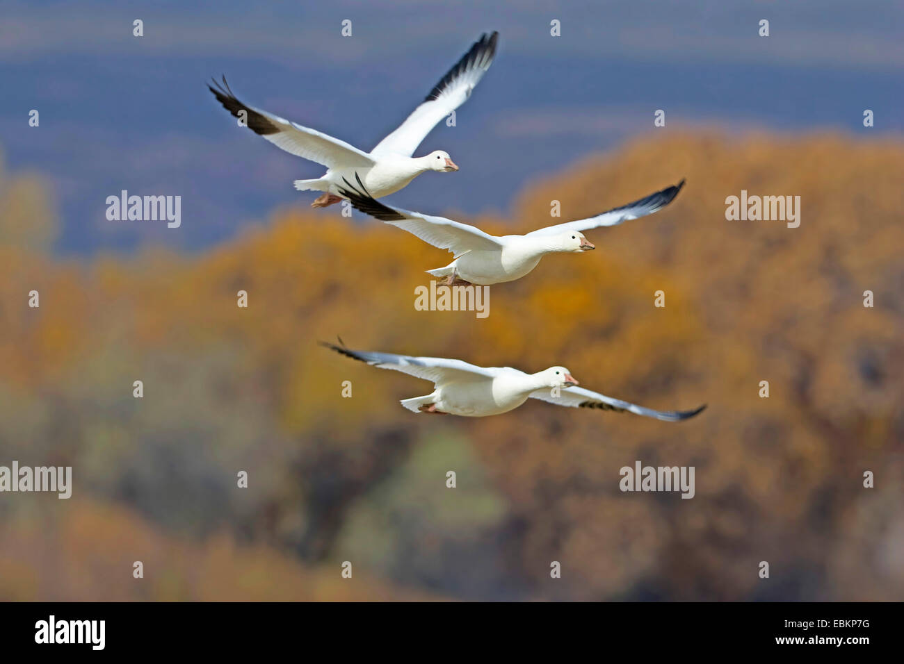 snow goose (Anser caerulescens atlanticus, Chen caerulescens atlanticus), flying, USA, New Mexico, Bosque del Apache - Stock Image