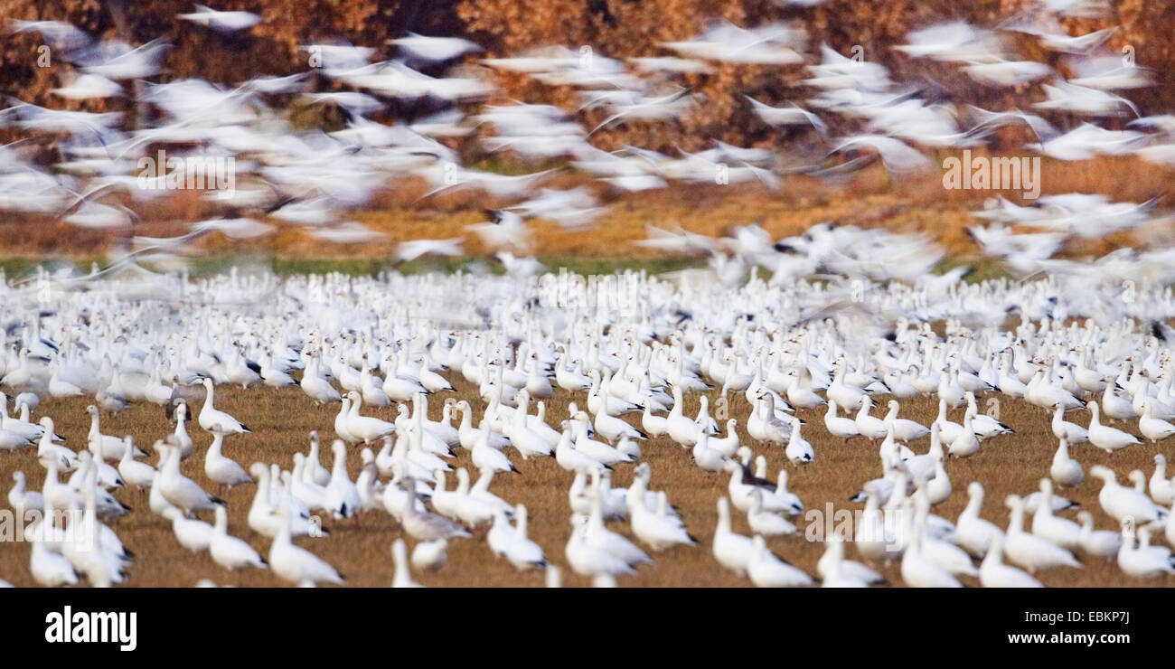 snow goose (Anser caerulescens atlanticus, Chen caerulescens atlanticus), Snow Geese wintering in Bosque del Apache, Stock Photo