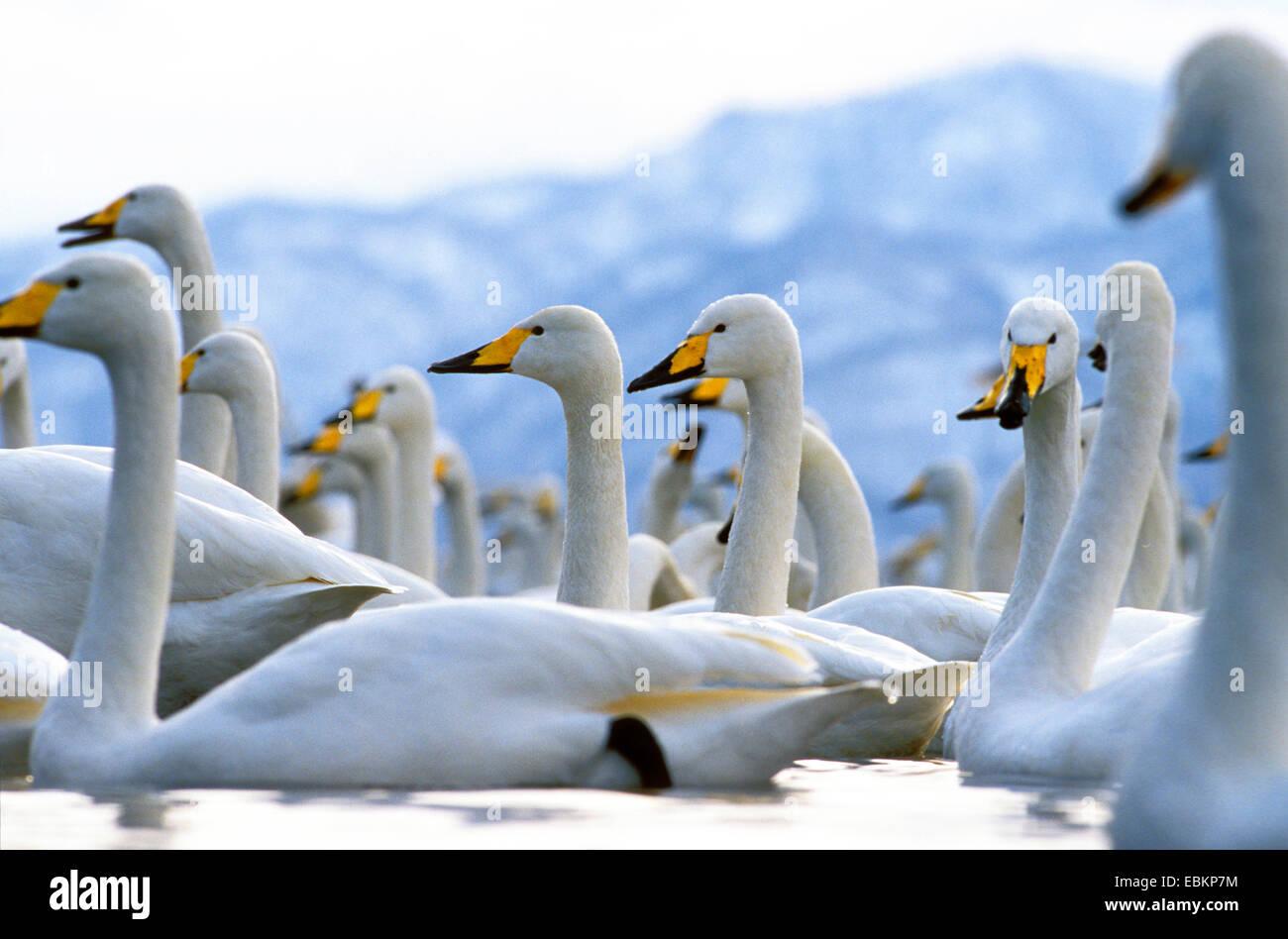 whooper swan (Cygnus cygnus), on a lake in winter, Japan, Hokkaido, Kussharo-Ko - Stock Image