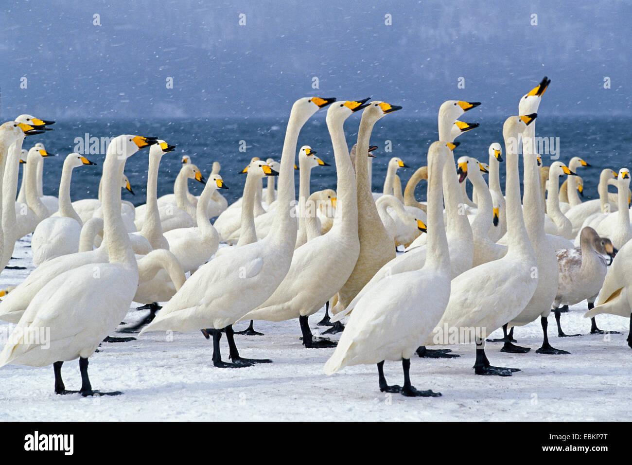whooper swan (Cygnus cygnus), wintering, Japan, Hokkaido, Kussharo-Ko - Stock Image
