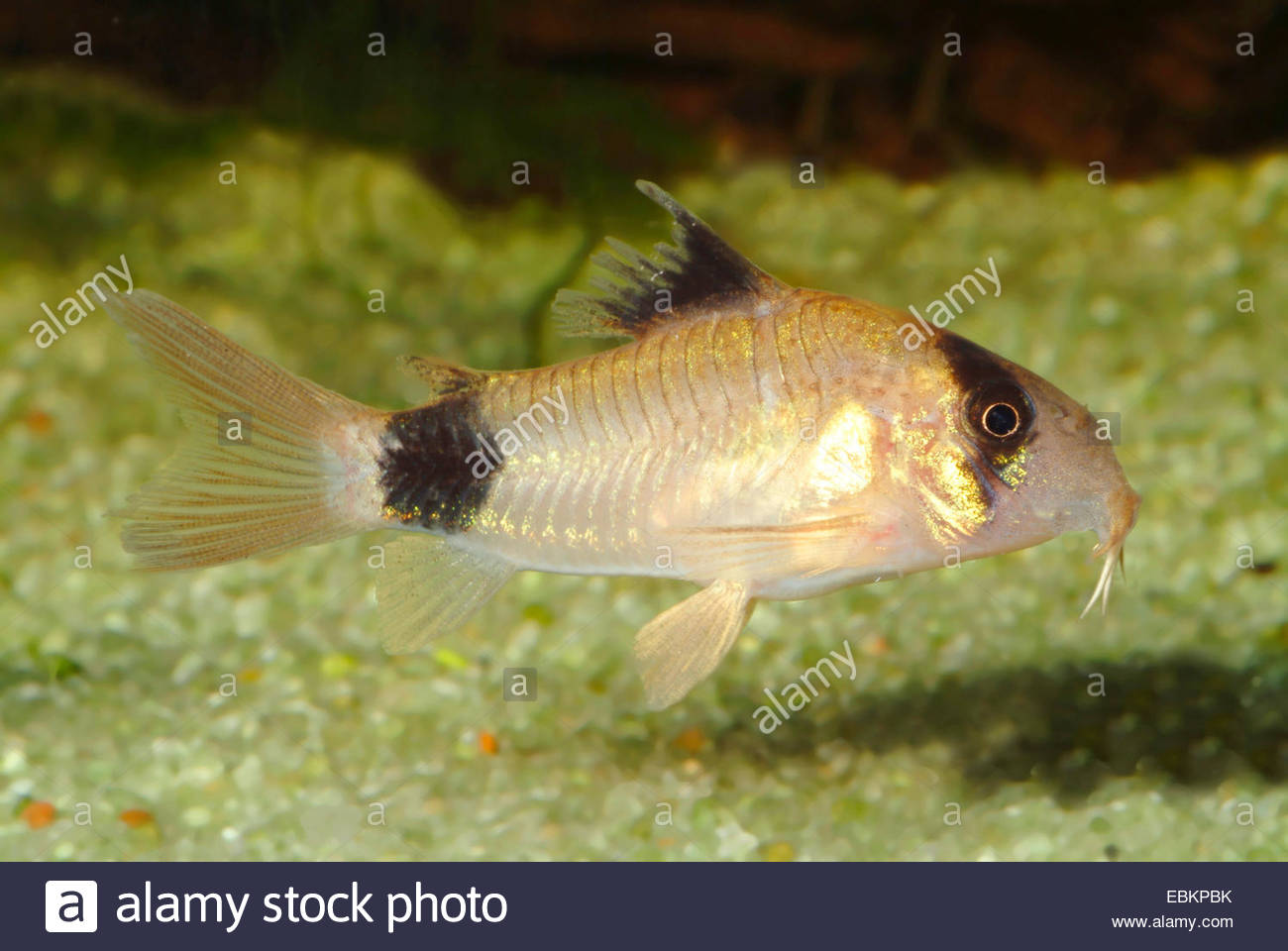 Panda cory (Corydoras panda), breed Big Spot - Stock Image