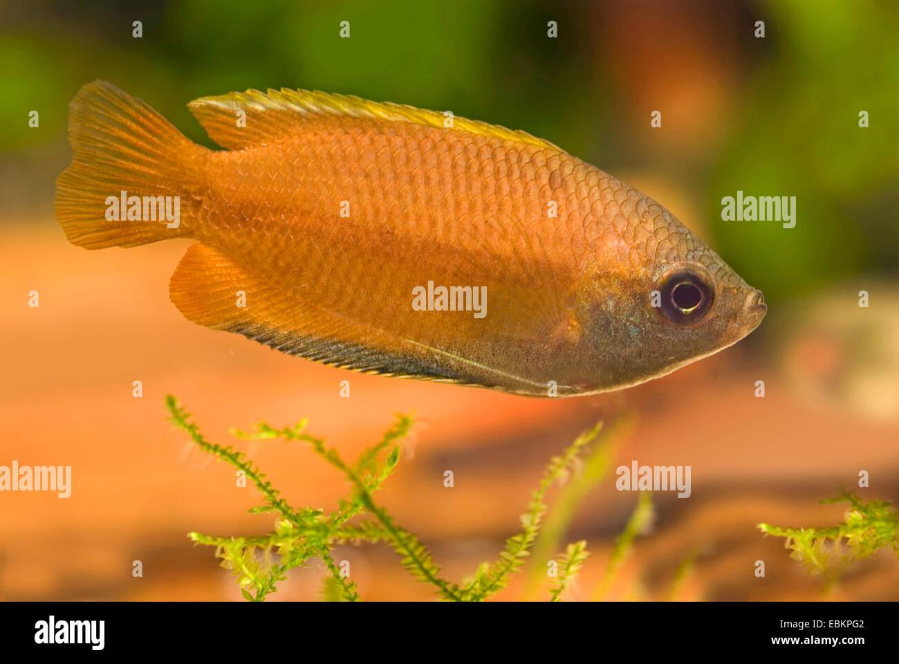 Honey gourami (Colisa chuna), swimming Stock Photo