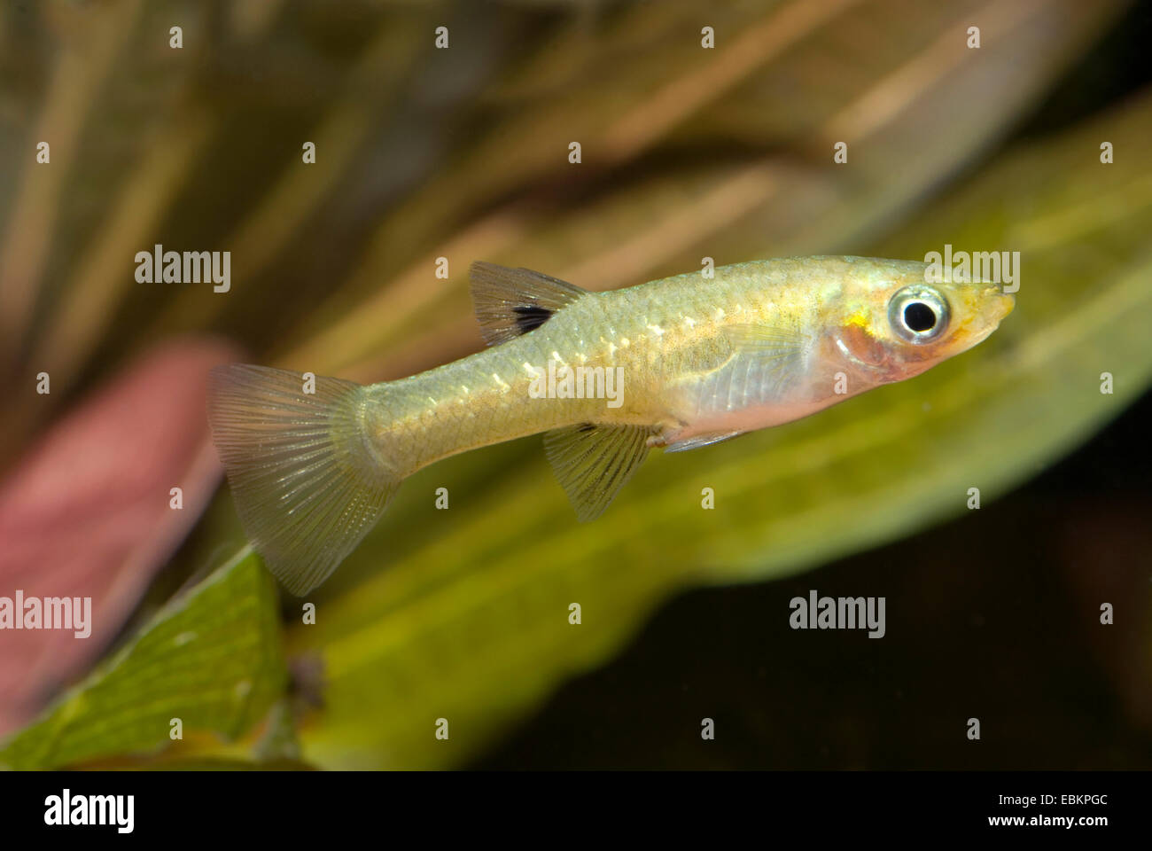 Girardinus, Metallic livebearer, Black Bellied Metallic Topminnow (Girardinus metallicus), swimming Stock Photo