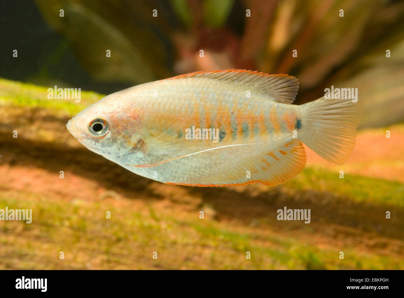 Thicklip Gourami (Colisa labiosa), swimming Stock Photo