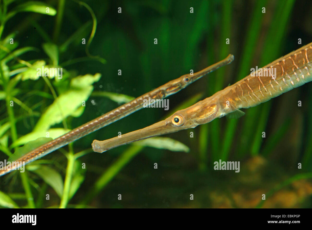 Long-snouted pipefish, Freshwater pipefish (Doryichthys boaja, Microphis boaja), two Long-snouted pipefishes swimming - Stock Image