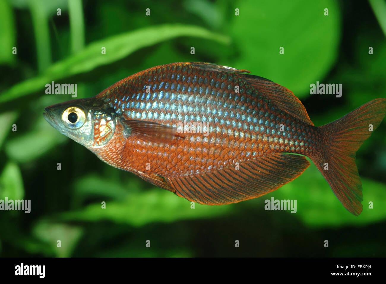 Tami River Rainbowfish (Glossolepis pseudoincisus), male swimming - Stock Image