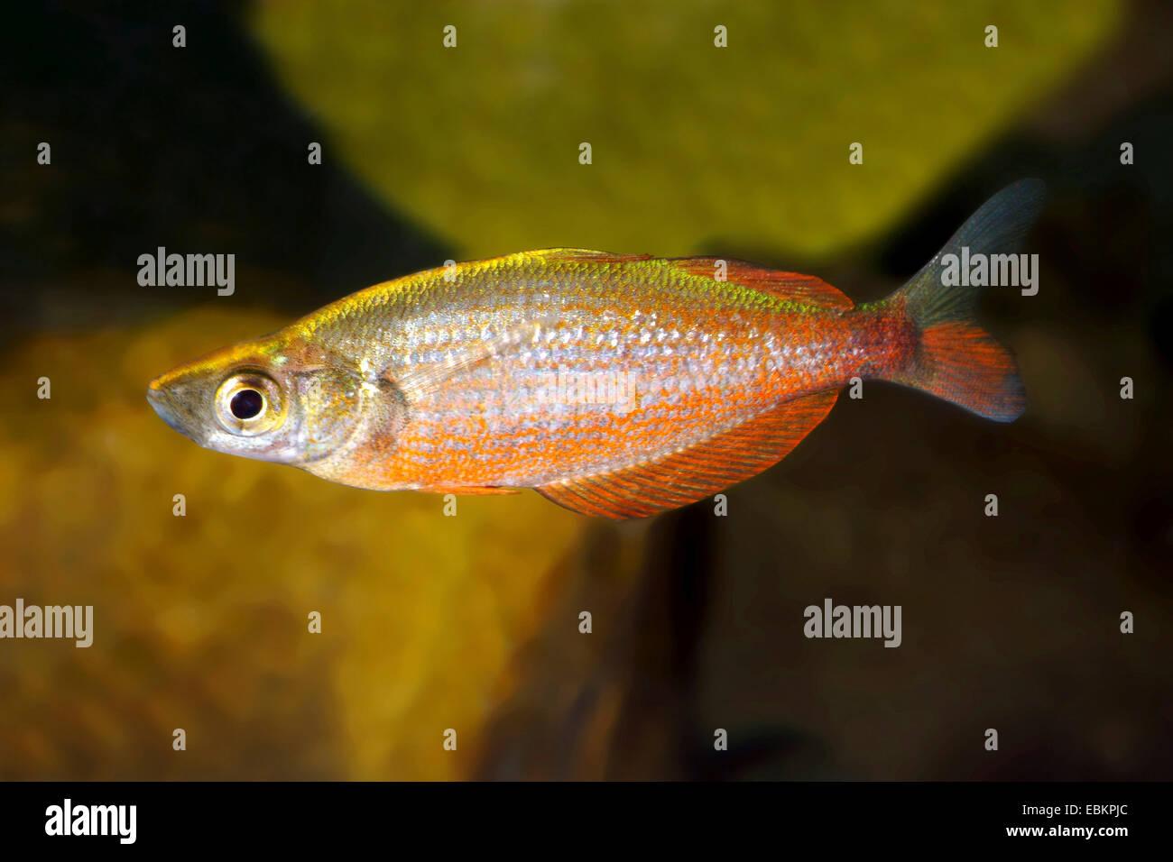 Tami River Rainbowfish (Glossolepis pseudoincisus), female - Stock Image