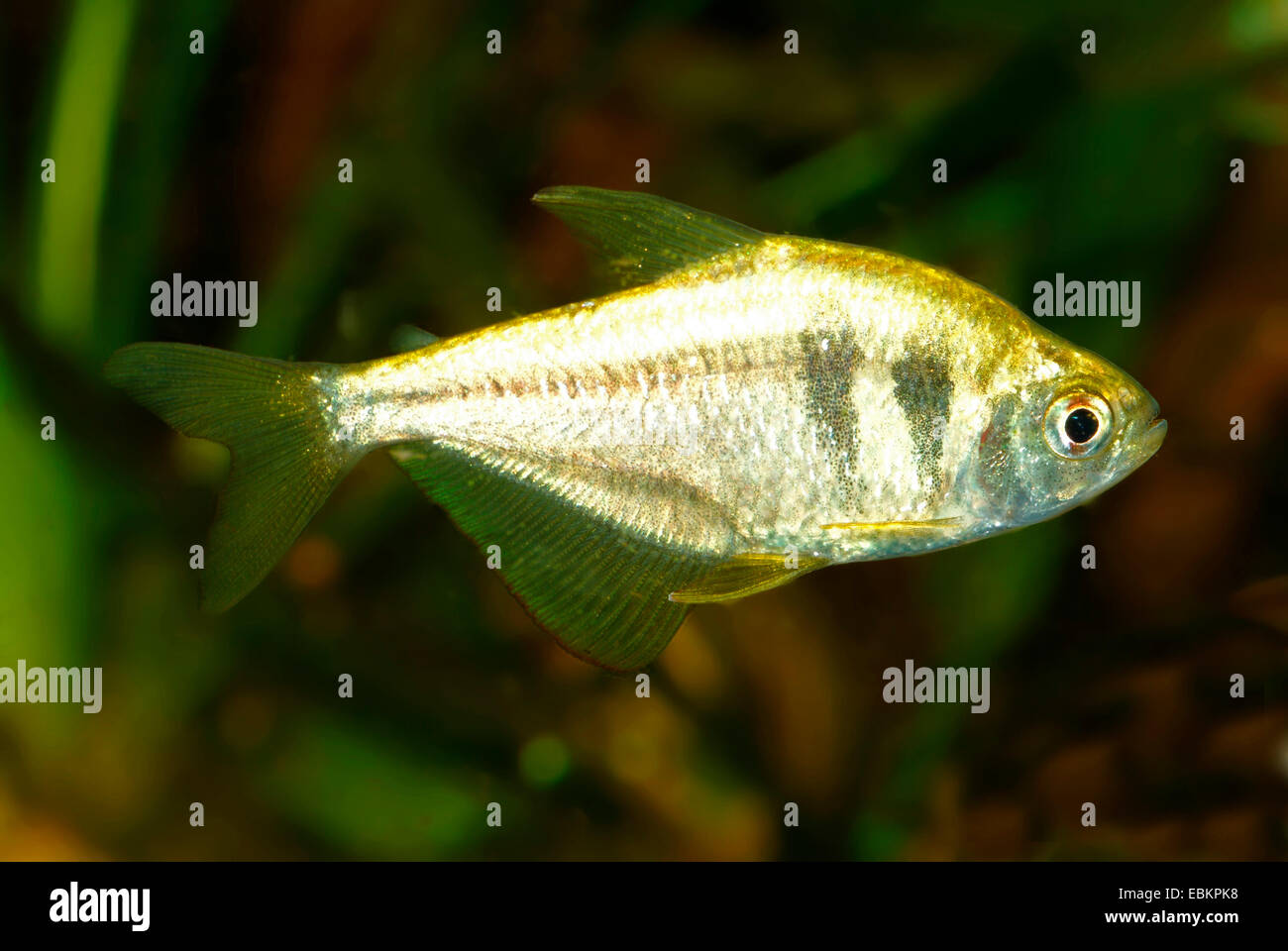 Fish names in alphabetical order - Page 2 - Forum Games Yellow Tetra Fish