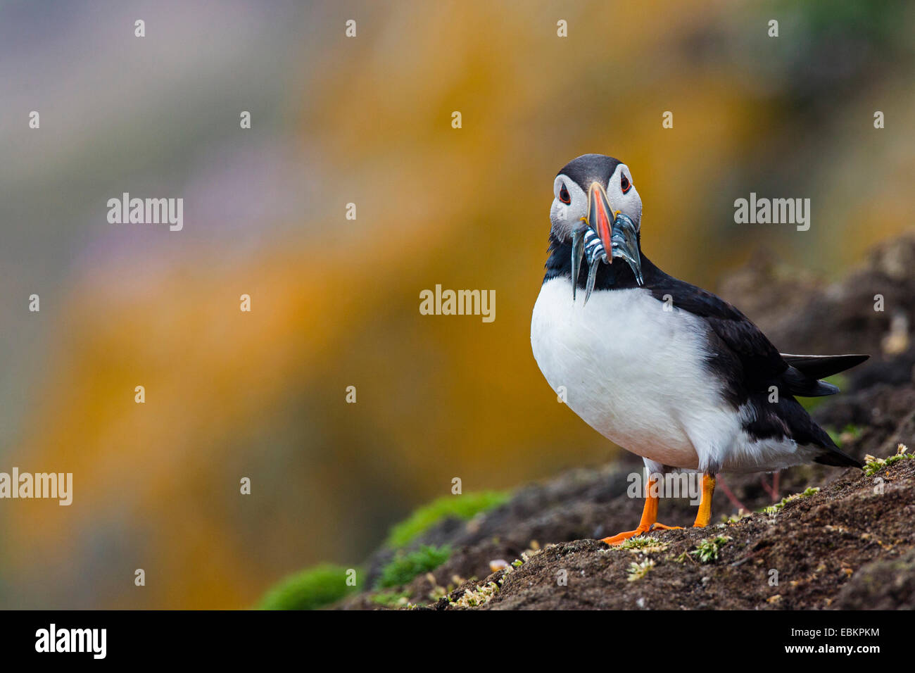 Atlantic puffin, Common puffin (Fratercula arctica), with caught sand eels in the bill at a cliff, United Kingdom, Scotland, Fair Isle, Shetland-Inseln Stock Photo