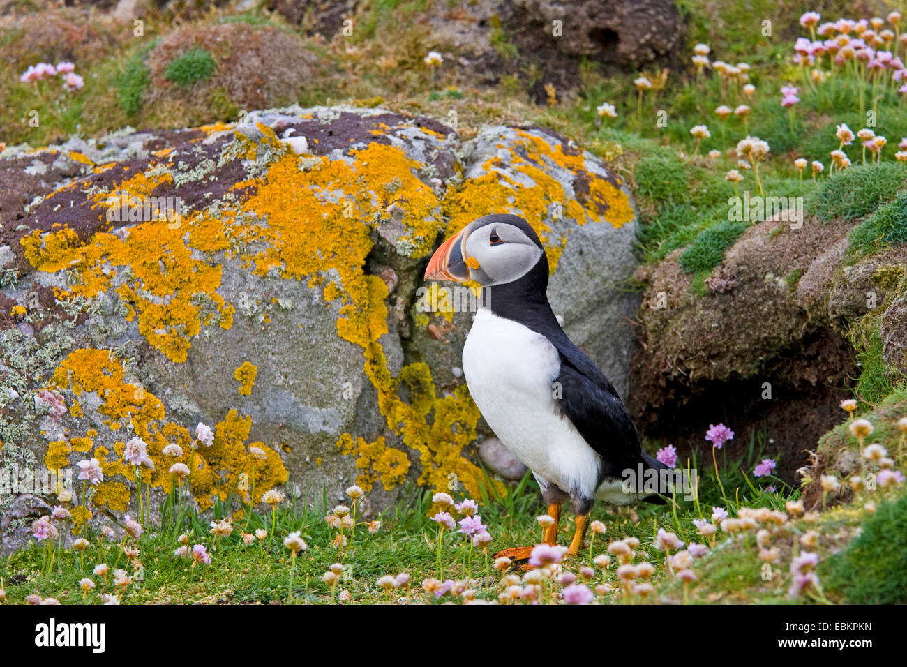 Atlantic puffin, Common puffin (Fratercula arctica), standing in front of its breeding cave, United Kingdom, Scotland, - Stock Image