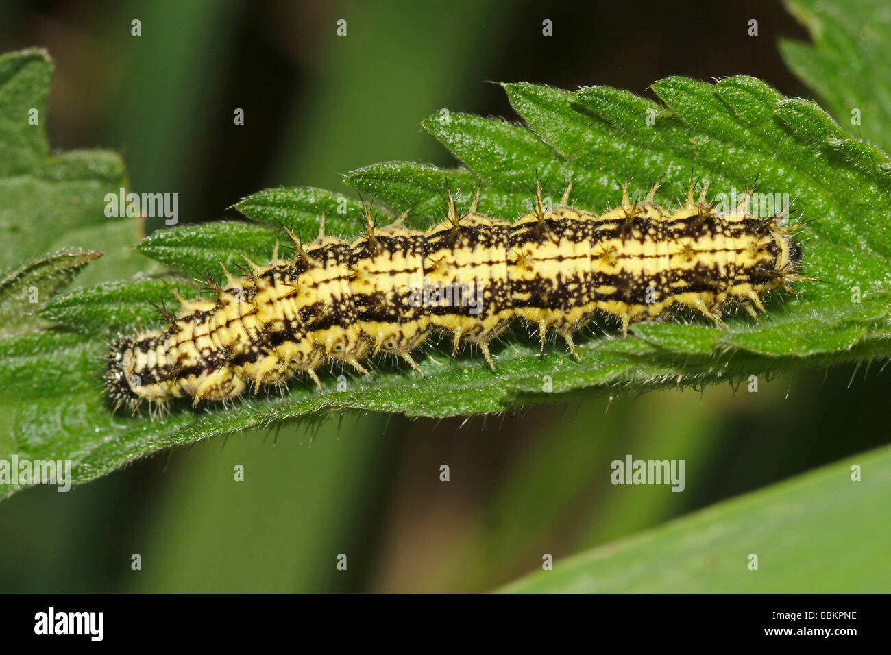 small tortoiseshell (Aglais urticae, Nymphalis urticae), caterpillar on a nettle leaf , Germany - Stock Image