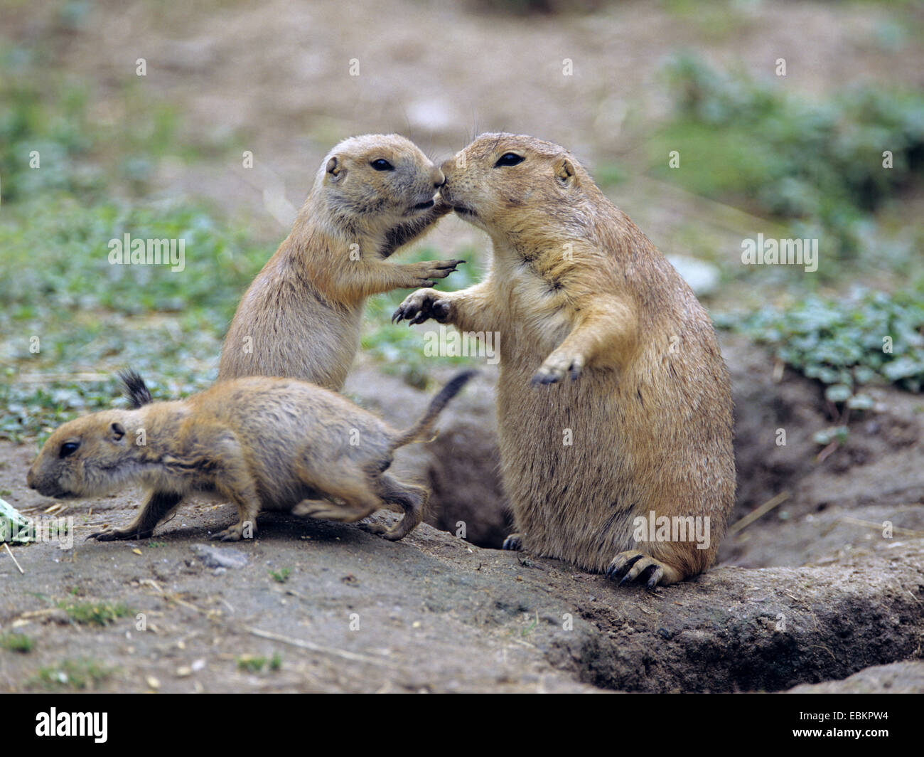 black-tailed prairie dog, Plains prairie dog (Cynomys ludovicianus), with young animals at the den - Stock Image