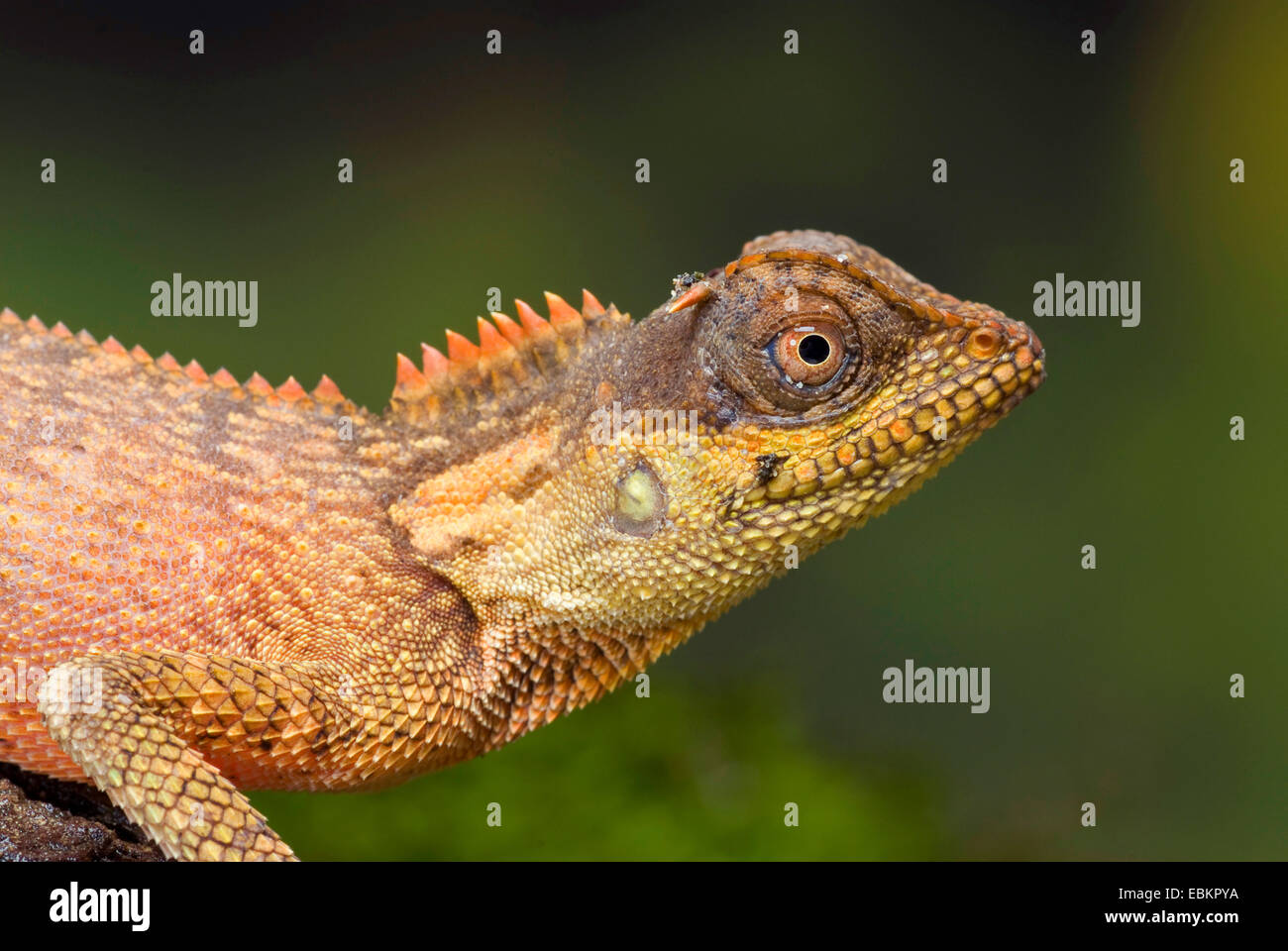 Green Pricklenape (Acanthosaura capra), half length portrait of a young animal - Stock Image
