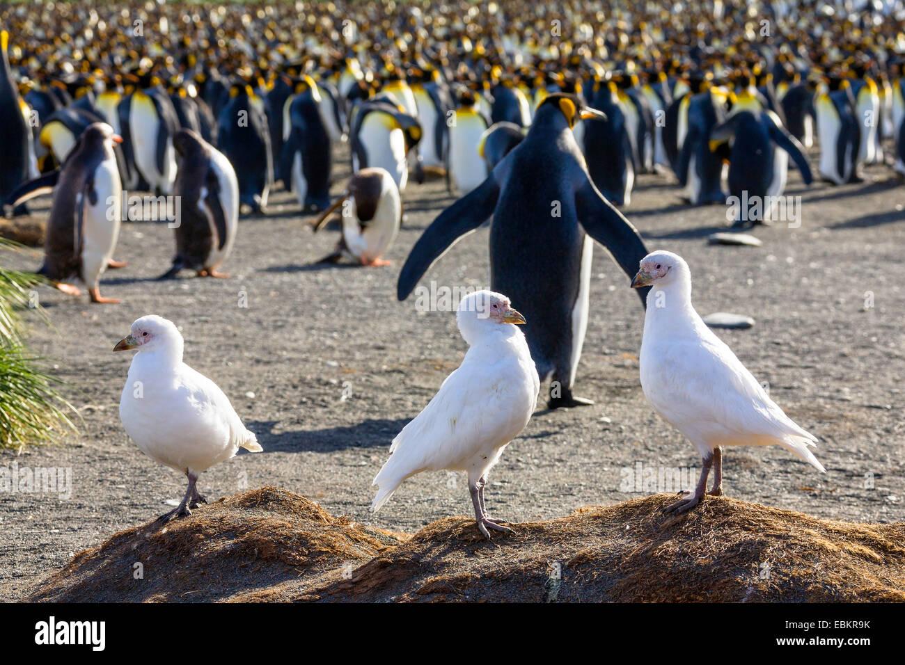 Snowy Sheathbill, Pale-faced sheathbill, Paddy (Chionis alba), three sheathbills in front of a king penguin colony, - Stock Image