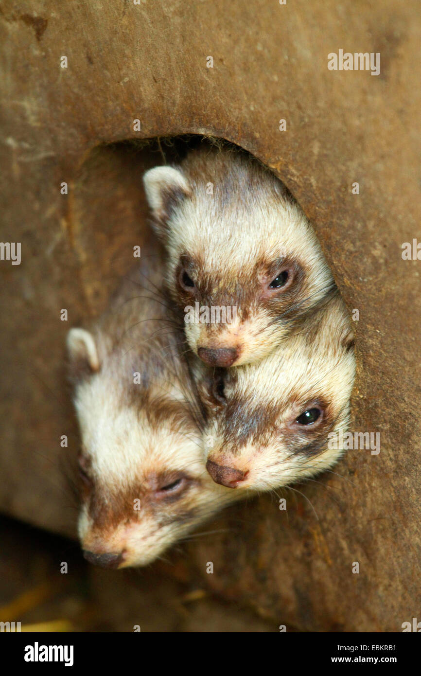 European polecat (Mustela putorius), three animals looking out of a nest hole, Sweden - Stock Image