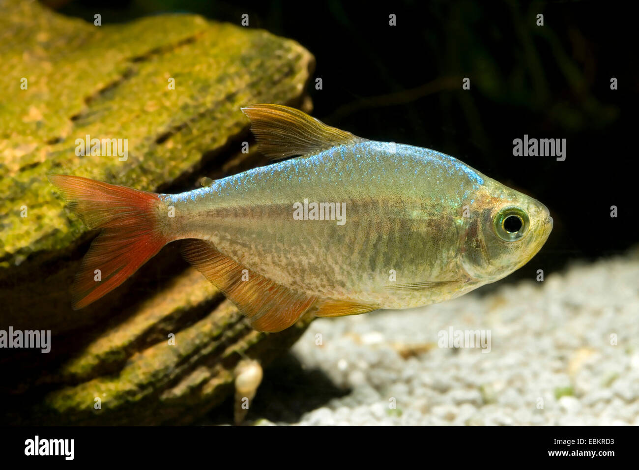 Columbian tetra (Hyphessobrycon columbianus), swimming Stock Photo