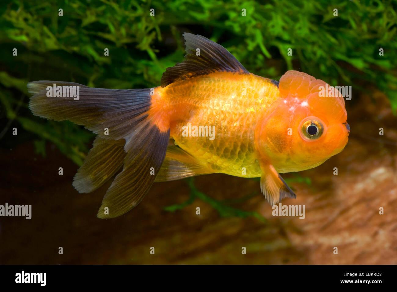 Goldfish, Common carp, Lionhead Goldfish (Carassius auratus), breeding form Lionhead black and red Stock Photo