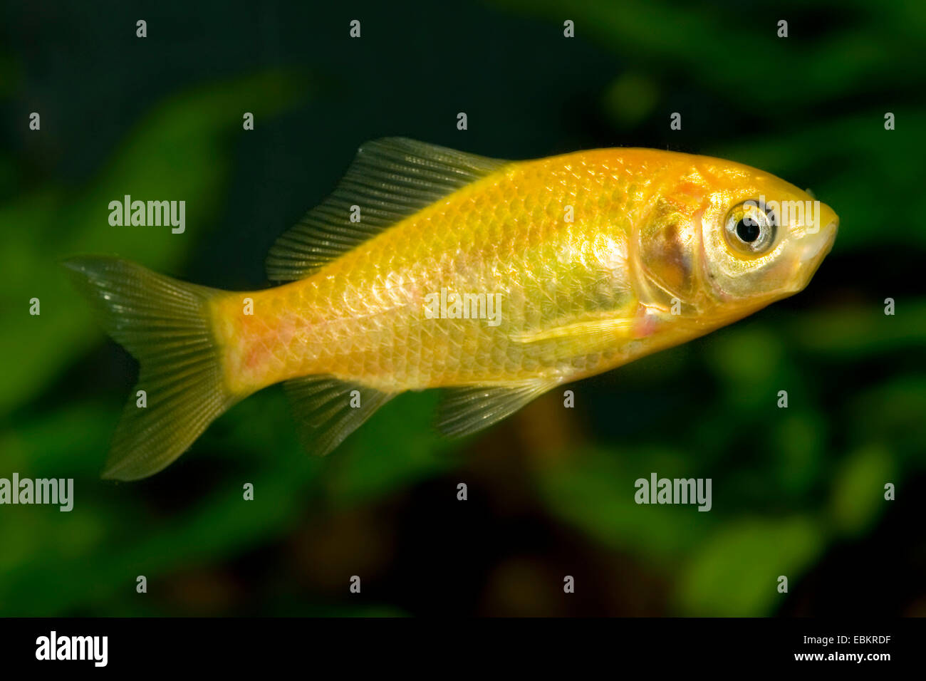 Goldfish, Common carp, Yellow goldfish (Carassius auratus), breeding form Yellow - Stock Image