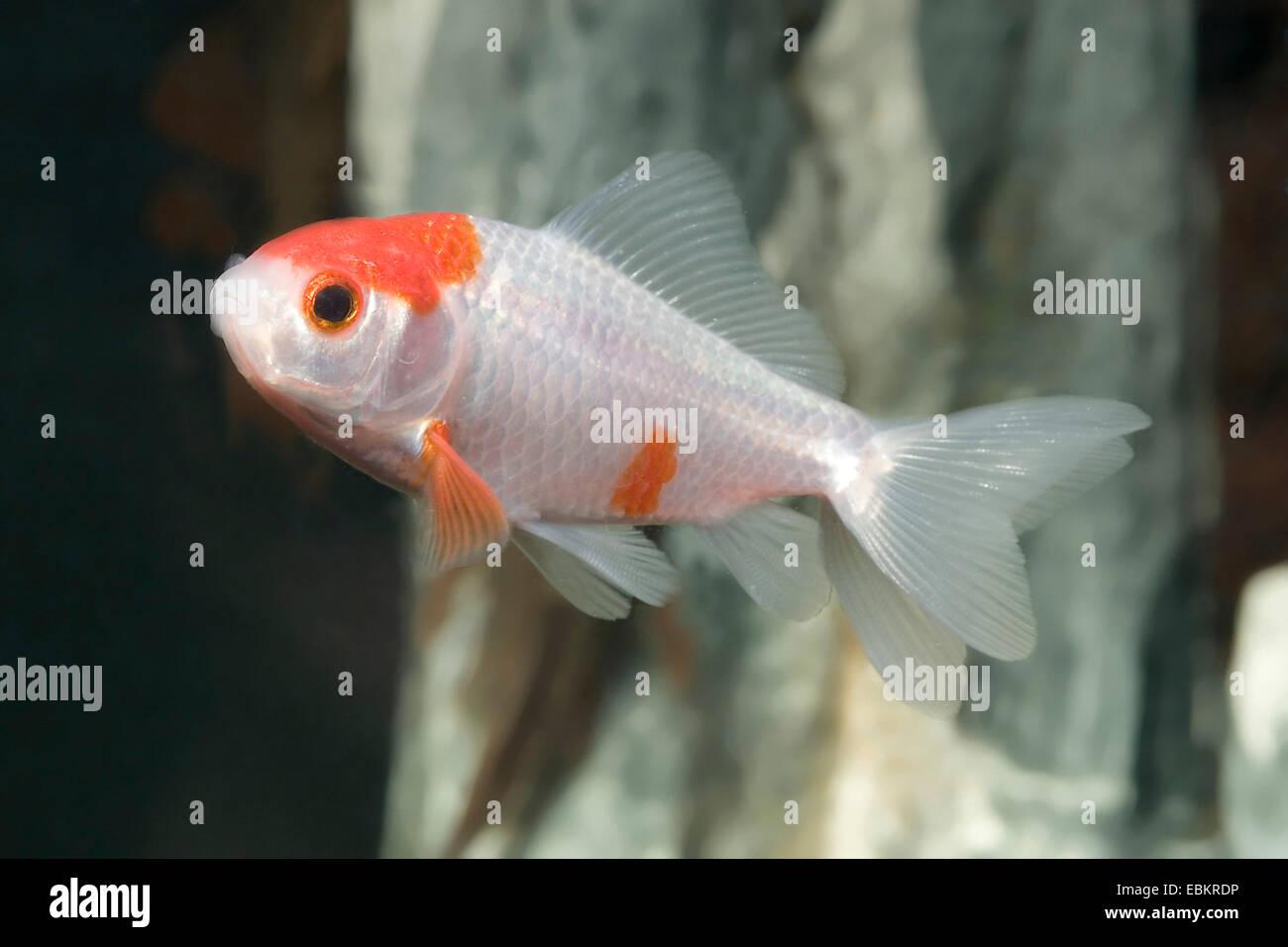 goldfish, common carp (Carassius auratus), breed Sarasa-doubletail Stock Photo