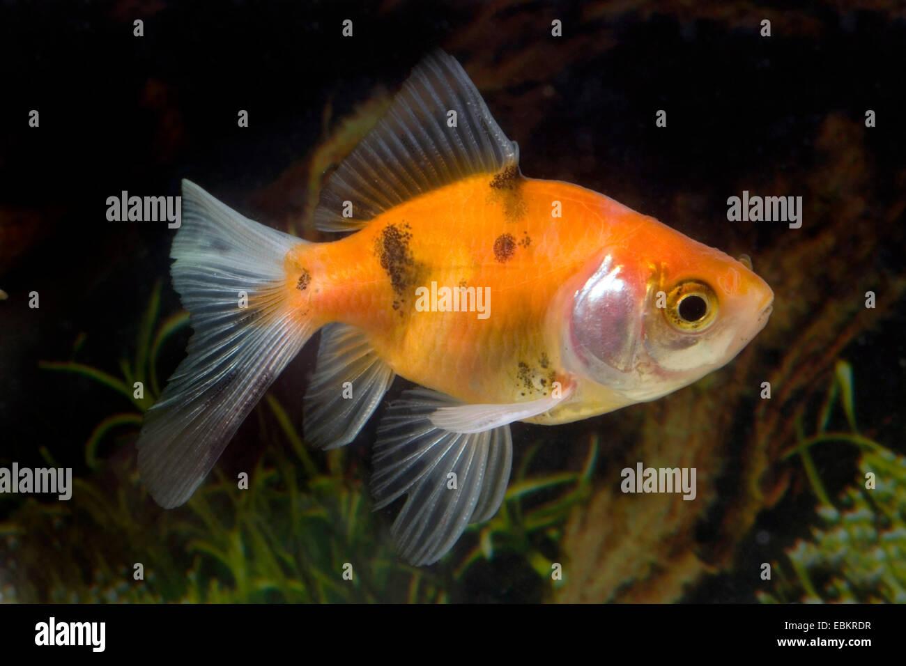 goldfish, common carp (Carassius auratus), breed Calico-Veiltail Stock Photo