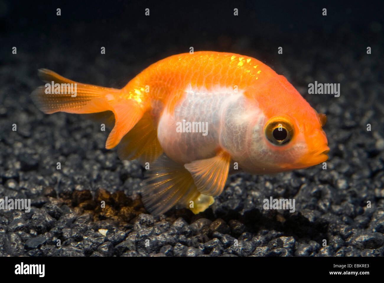 Goldfish, Common carp (Carassius auratus), breeding form red and white eggfish - Stock Image