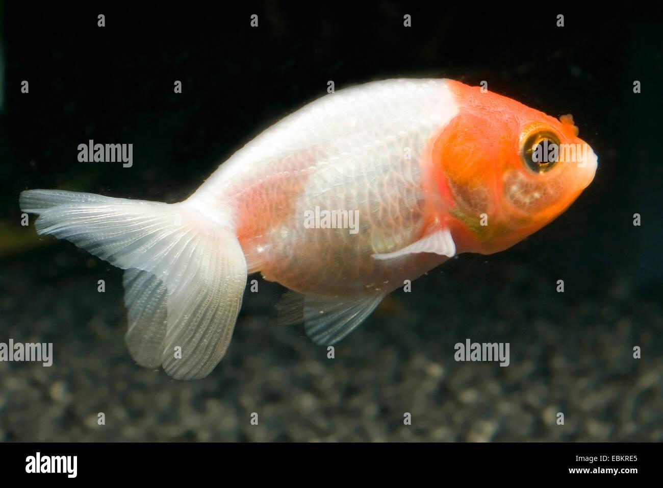 Goldfish, Common carp (Carassius auratus), breeding form red and white eggfish Stock Photo