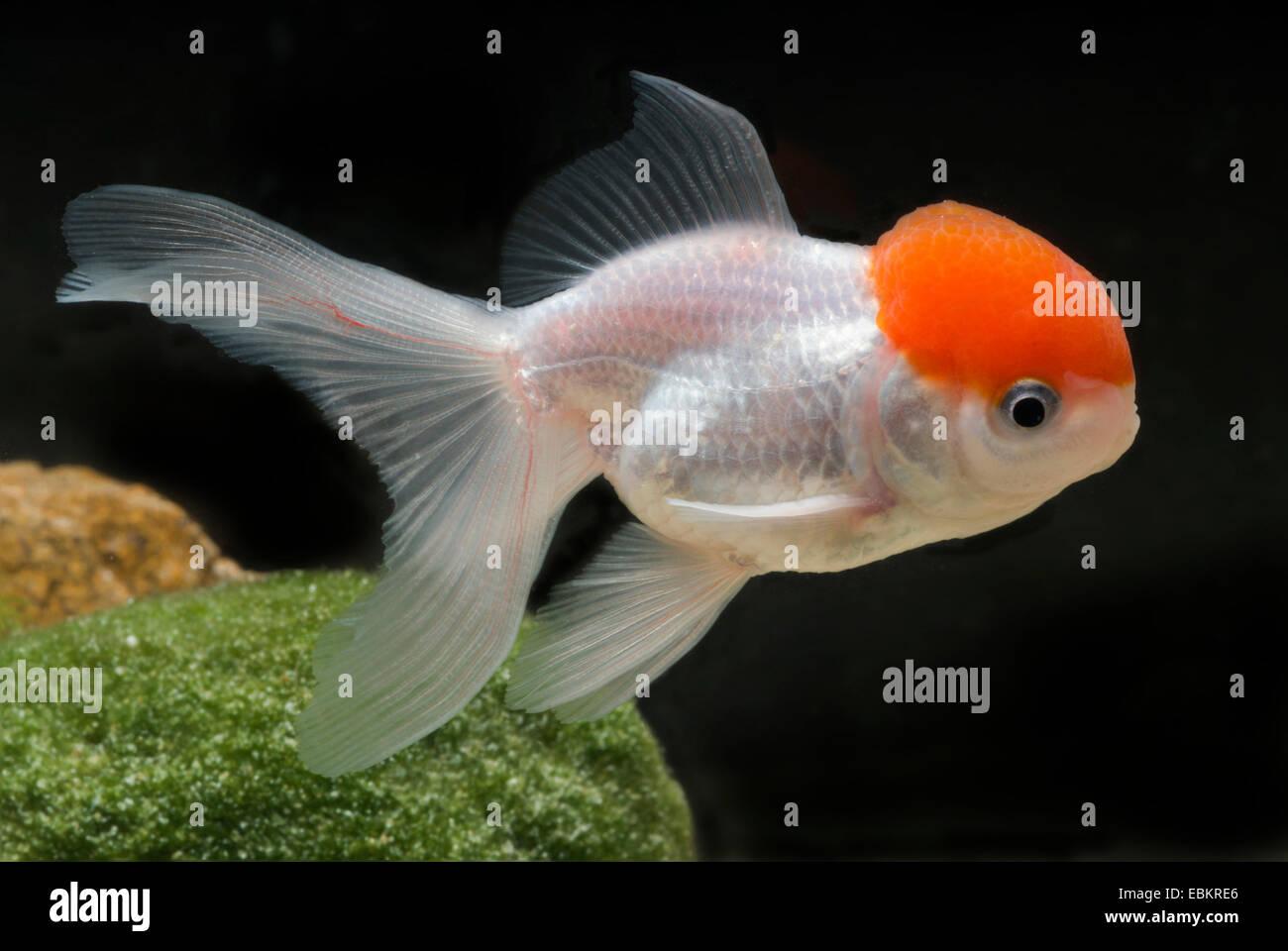 Goldfish, Common carp, Lionhead Goldfish (Carassius auratus), breeding form Lionhead red head - Stock Image