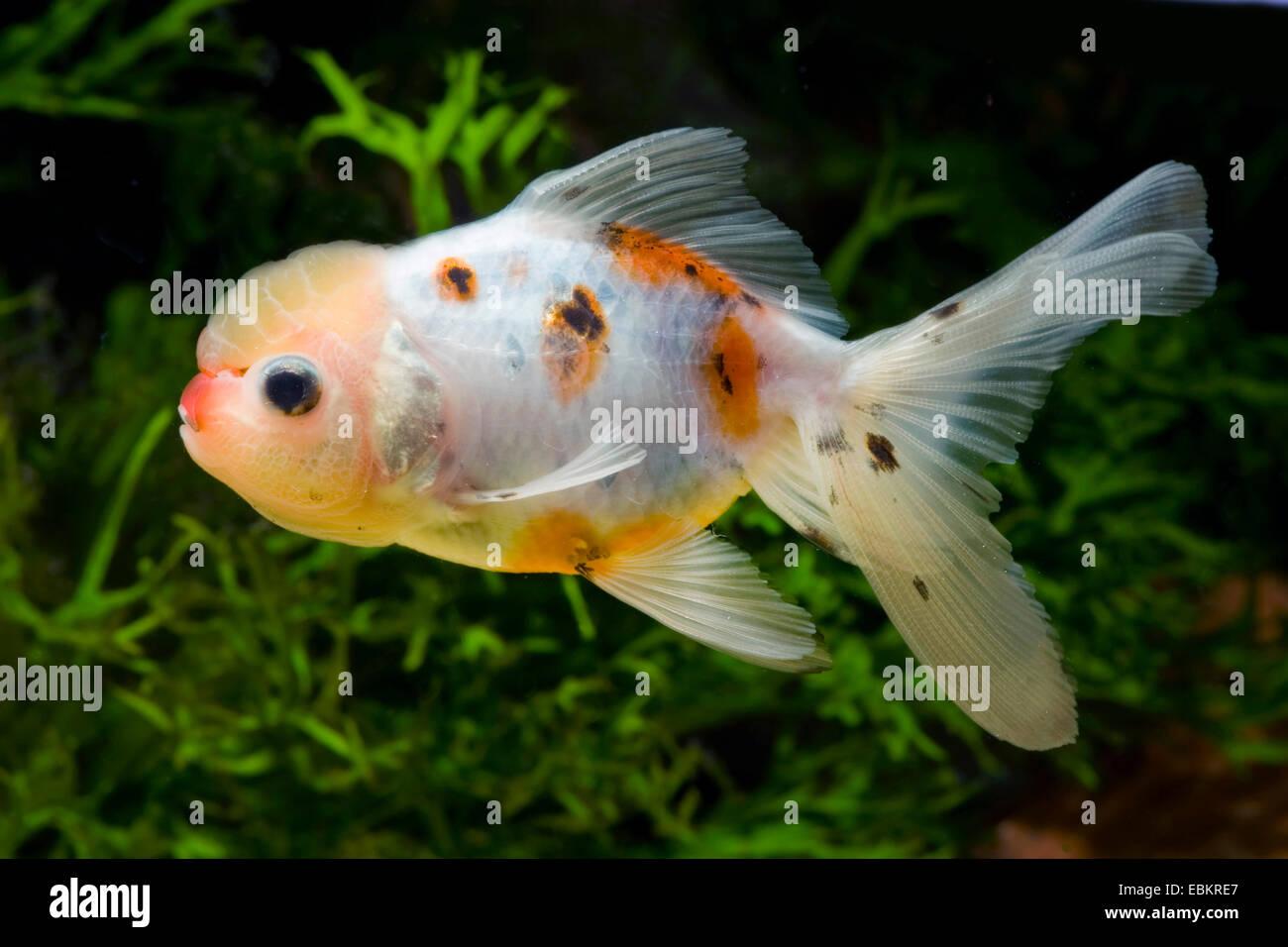 Goldfish, Common carp, Lionhead Goldfish (Carassius auratus), breeding form Lionhead Stock Photo