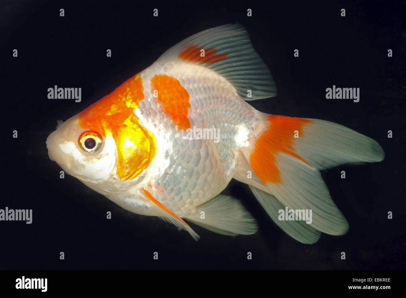 Goldfish Common Carp Carassius Auratus Breed Ryukin Red
