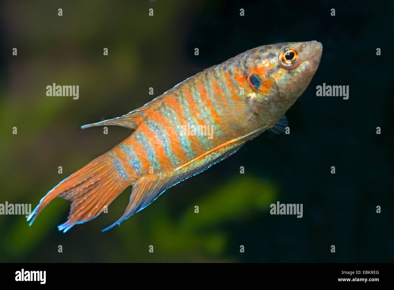 Paradise fish (Macropodus opercularis), full length portrait - Stock Image