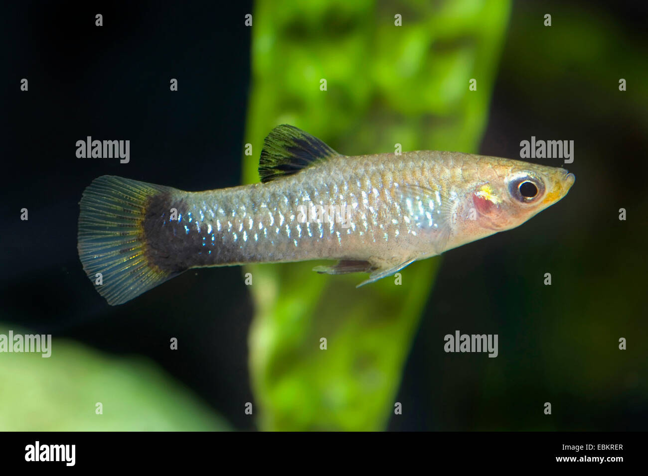 black-bellied molly, blue limia, blackbelly limia (Poecilia melanogaster, Limia melanogaster), full length portrait Stock Photo