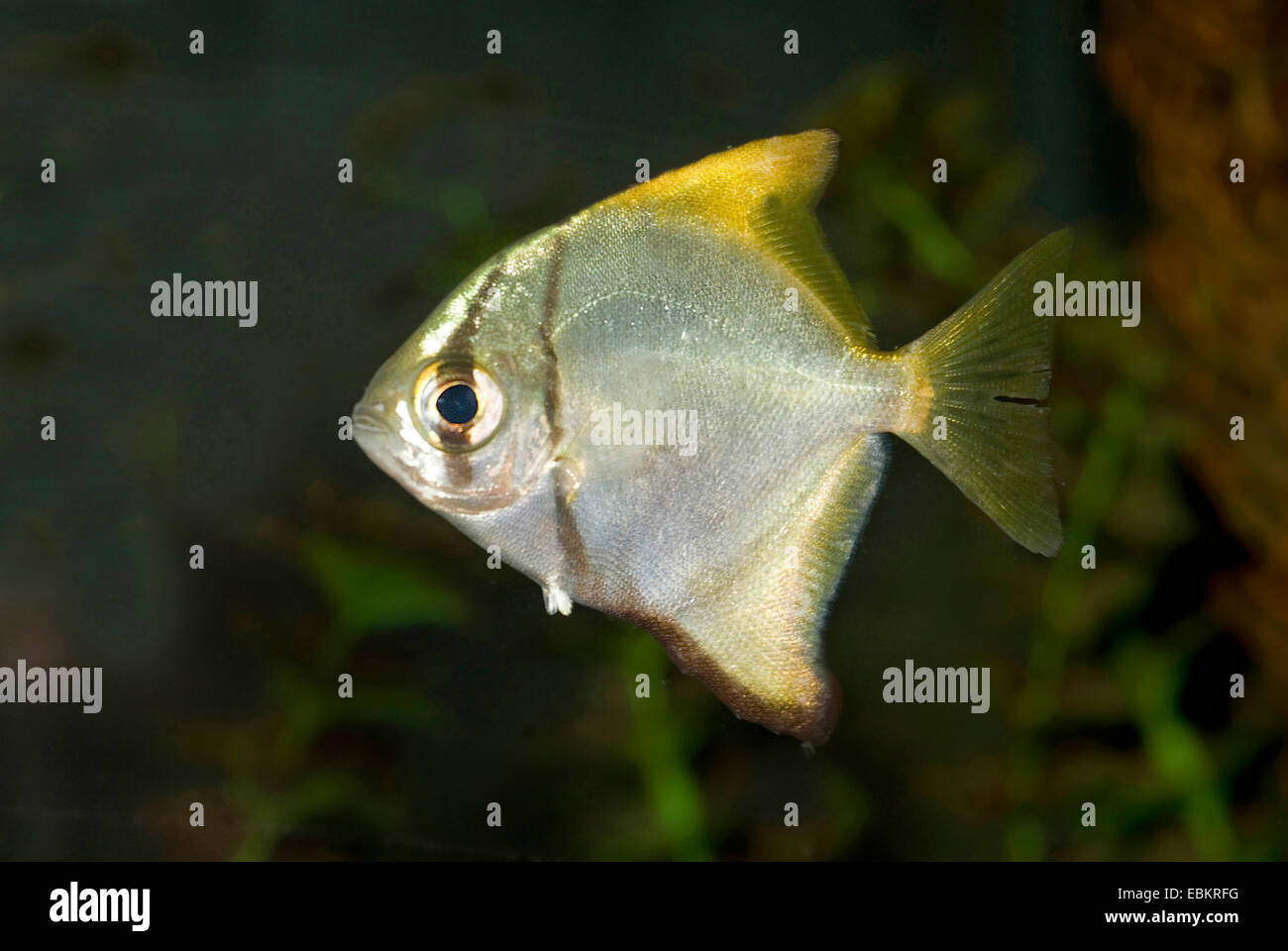 silver mono, moonfish, diamondfish, fingerfish, kilefish, butter-bream, silver moony (Monodactylus argenteus), swimming - Stock Image