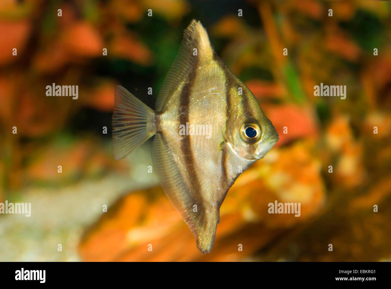 African Mono, Striped Mono, African Finger fish (Psettus sebae, Monodactylus sebae), swimming - Stock Image