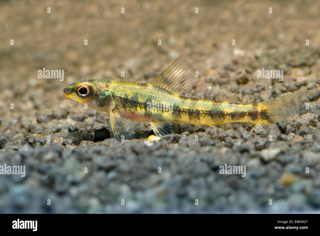 African Ground tetra (Nannocharax fasciatus), on the ground - Stock Image