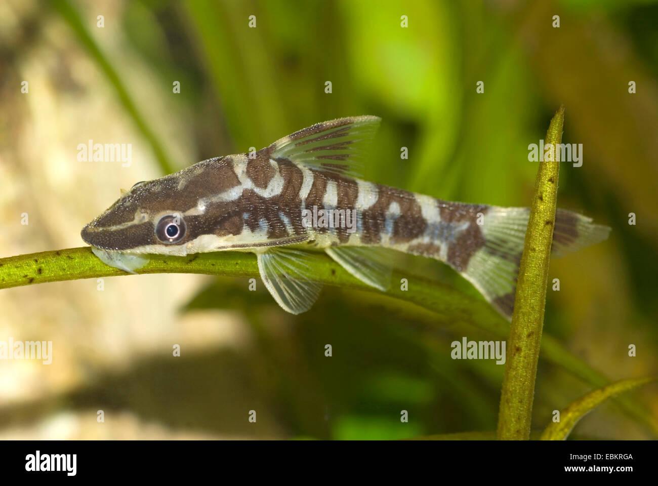 Zebra Sucker Catfish Otocinclus Cocama Swimming Stock