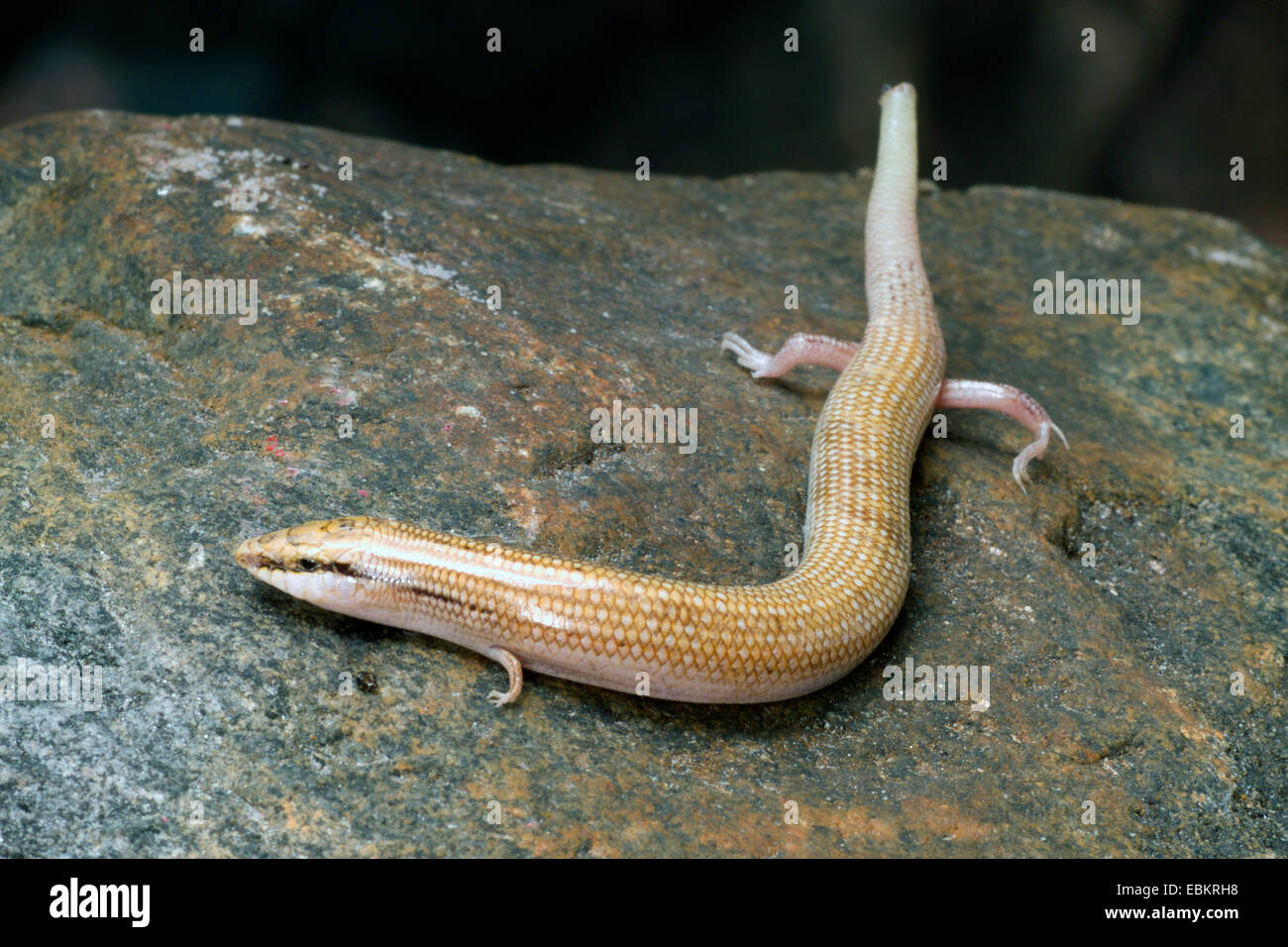 Wedge-snouted skink, Elongated barrel skink (Chalcides sepsoides), on a stone - Stock Image