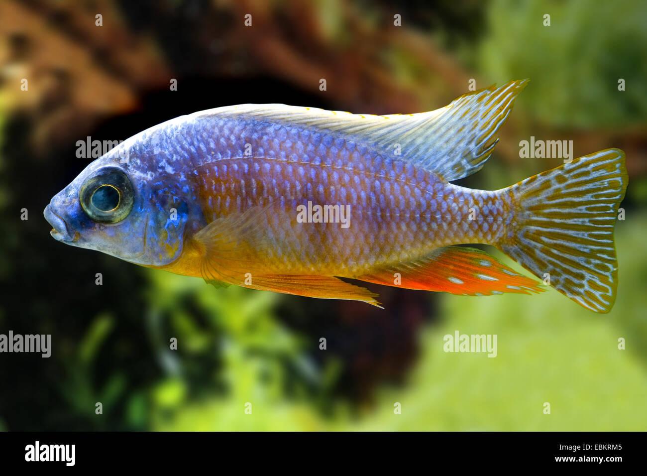 Malawi Cichlid (Protomelas steveni), swimming - Stock Image