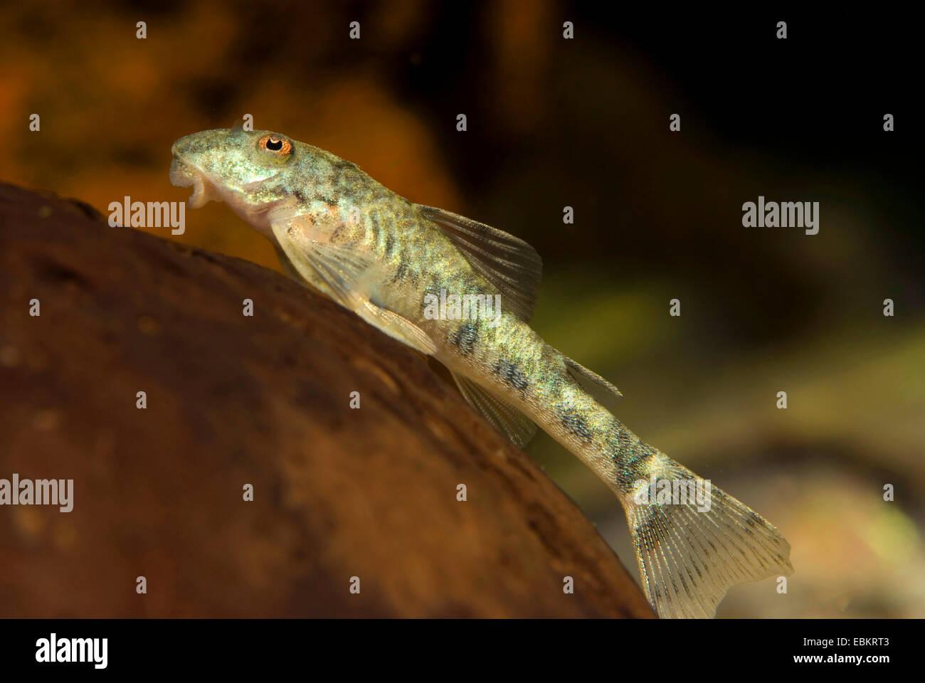 Goby Pleco, Pitbull Pleco (Parotocinclus jumbo), swimming - Stock Image