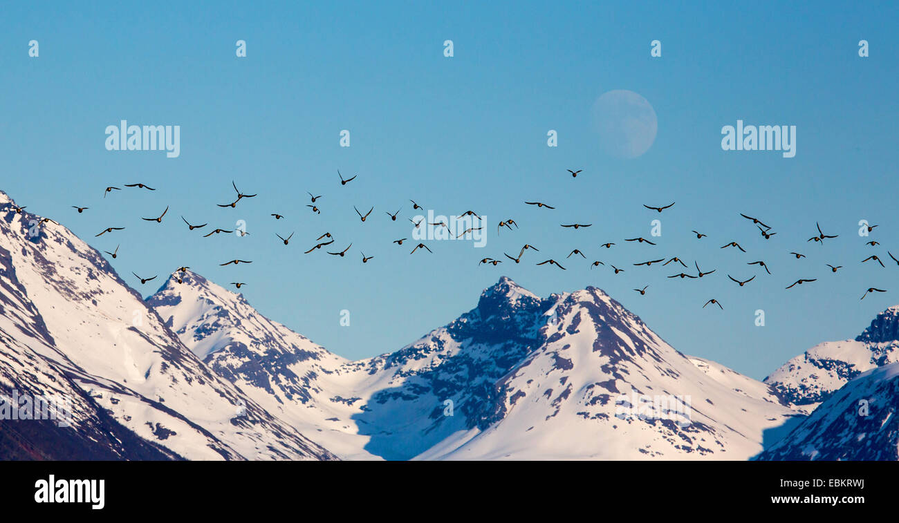 red knot (Calidris canutus), bird migration with moon over the snow-covered mountains, Norway, Troms, Tisnes - Stock Image