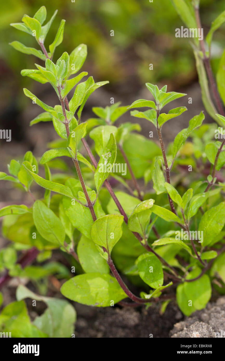 sweet marjoram, knotted marjoram (Origanum majorana, Majorana hortensis), habitus - Stock Image