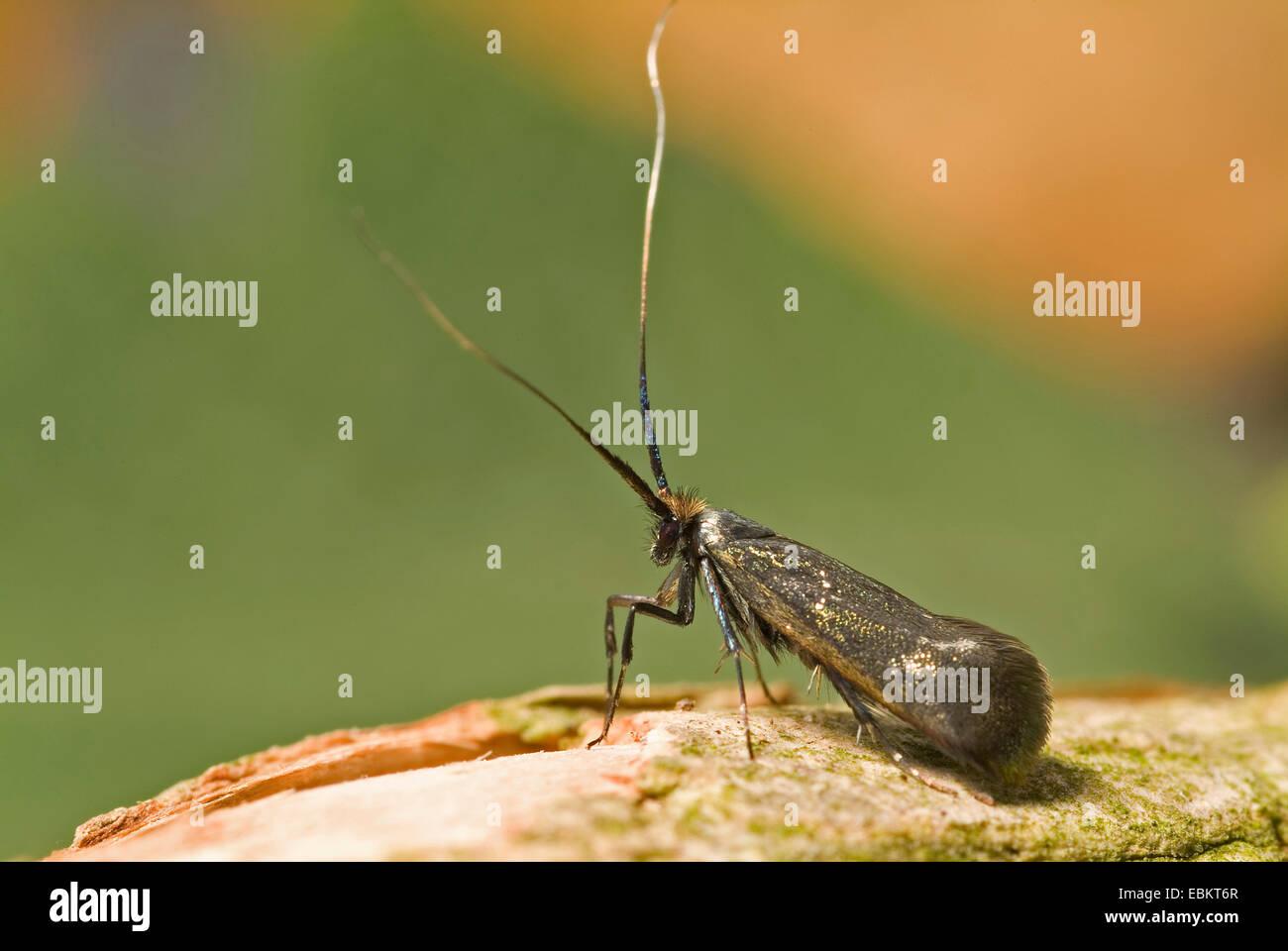 Green Longhorn, Green Long-horn (Adela reaumurella, Phalaena reaumurella, Phalaena viridella, Adela viridella), - Stock Image