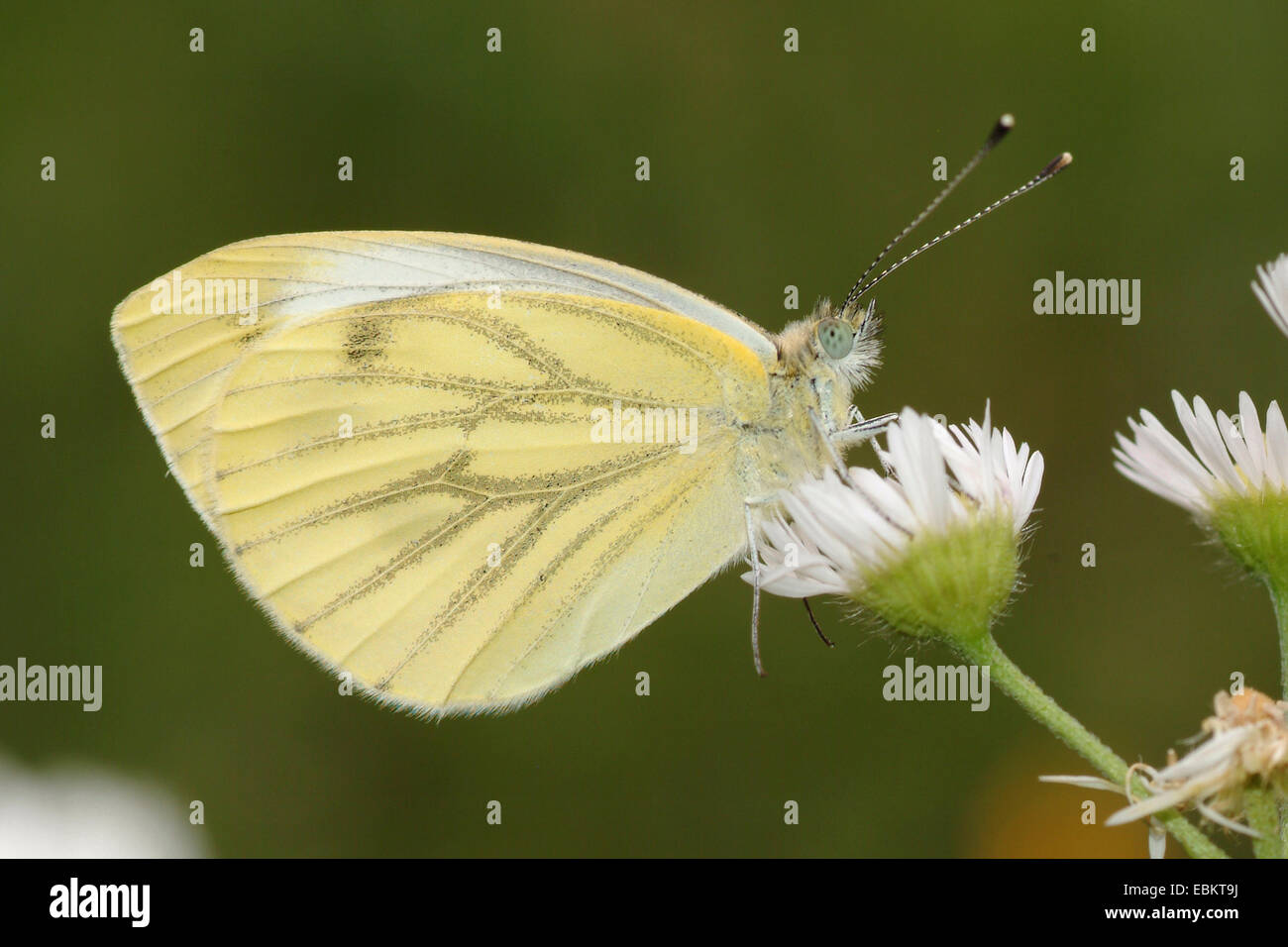 Green-veined white, Green veined white (Pieris napi, Artogeia napi), sitting on white composite, Germany - Stock Image