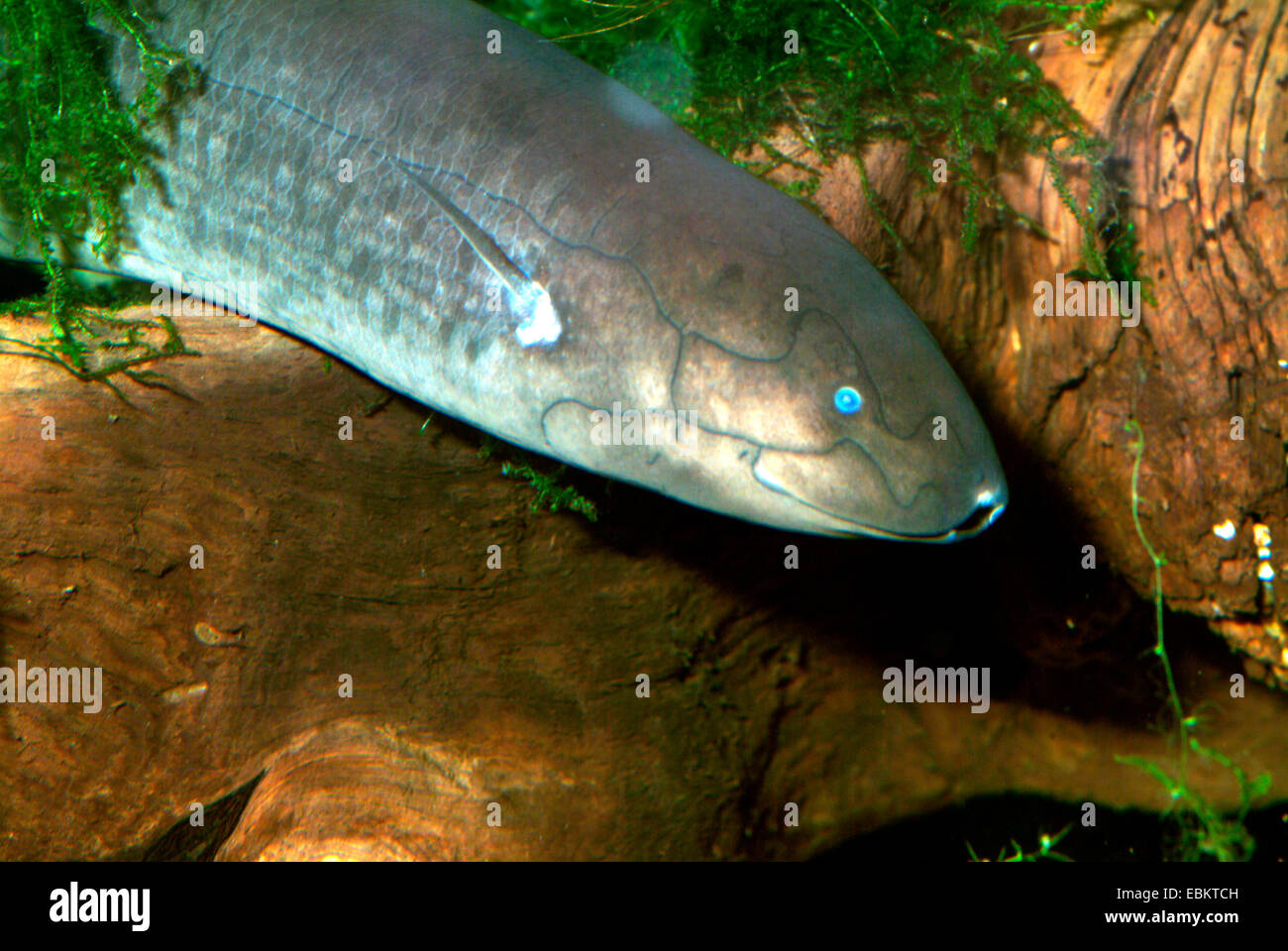 Spotted African lungfish, Doloi Lungfish (Protopterus dolloi), half length portrait - Stock Image