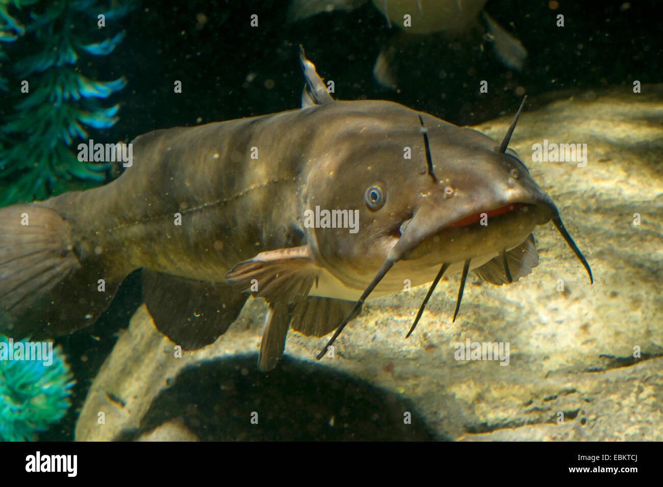brown bullhead, speckled catfish, horned pout, American catfish (Ameiurus nebulosus, Ictalurus nebulosus), aquarium - Stock Image