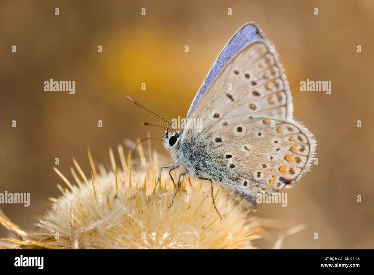 common blue (Polyommatus icarus), sucking nectar from a plant, Germany Stock Photo