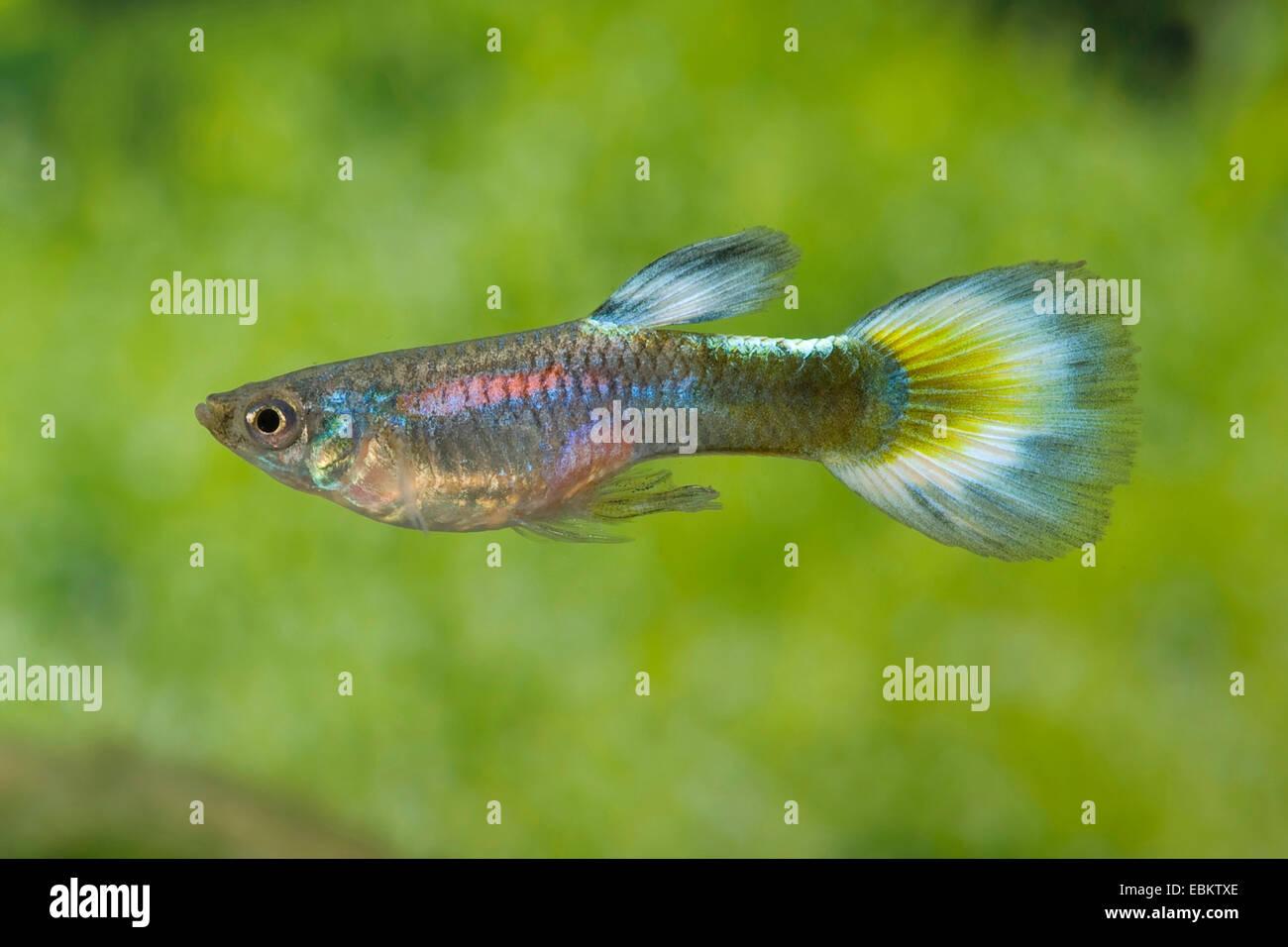 guppy (Poecilia reticulata, Lebistes reticulatus, Lebistes reticulata), breed form Half Blue Neon - Stock Image