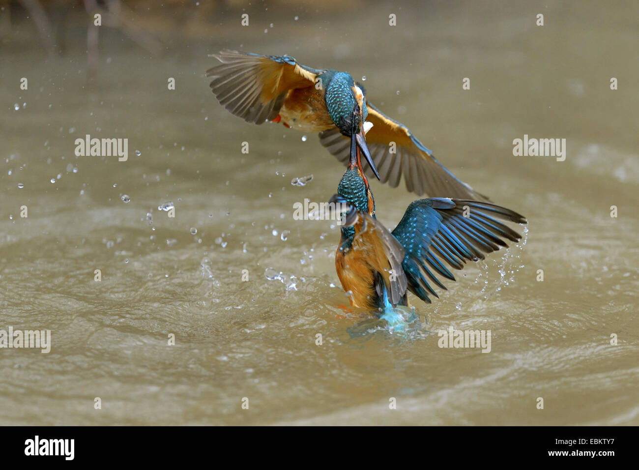 river kingfisher (Alcedo atthis), territorial fight of two females, Germany, Baden-Wuerttemberg - Stock Image
